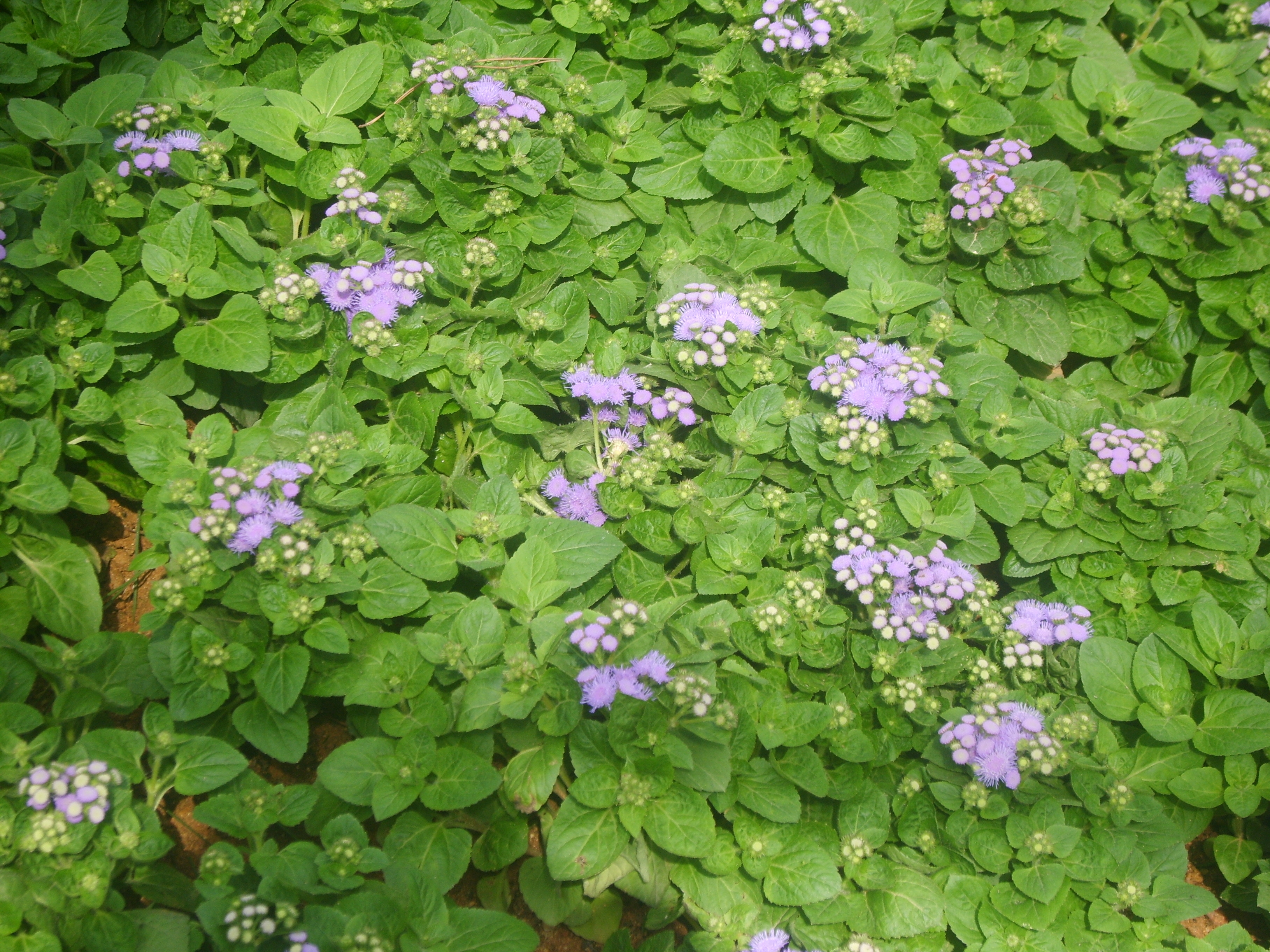 Similiar Ageratum Houstonianum Keywords.