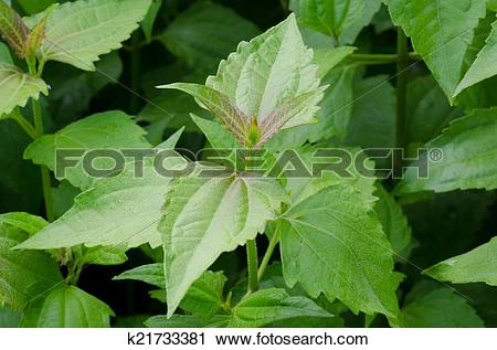 Stock Photography of Siam weed or Ageratum houstonianum k21733381.