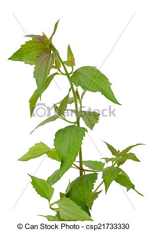 Stock Photos of Siam weed or Ageratum houstonianum isolated on.