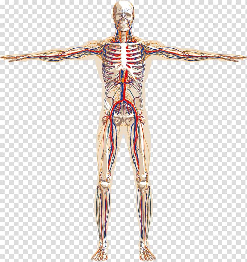 Anatomy illustration, Human body Human skeleton Nervous.