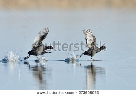 Fighting Coots Stock Photos, Royalty.