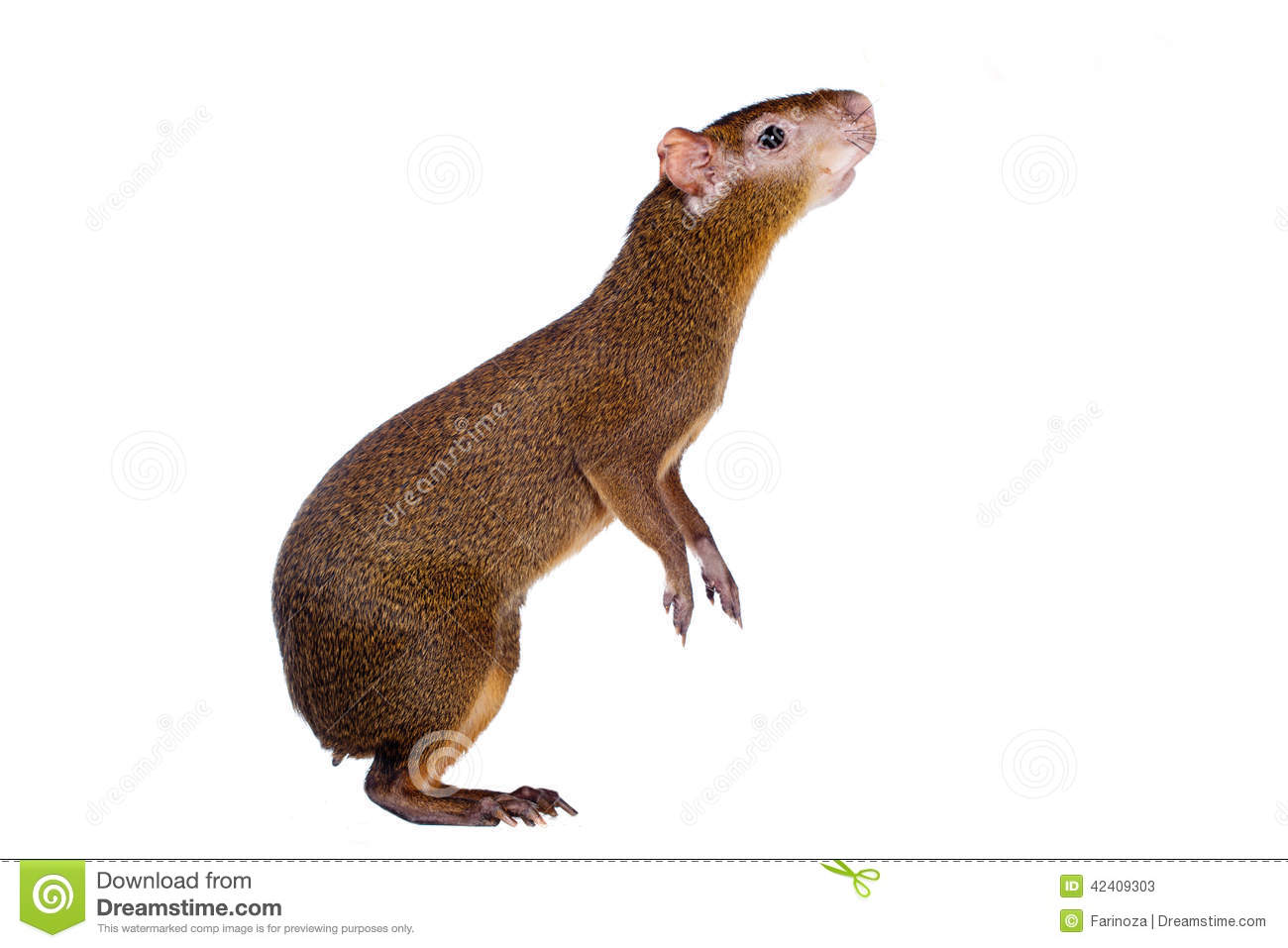 Agouti Stock Photos, Images, & Pictures.