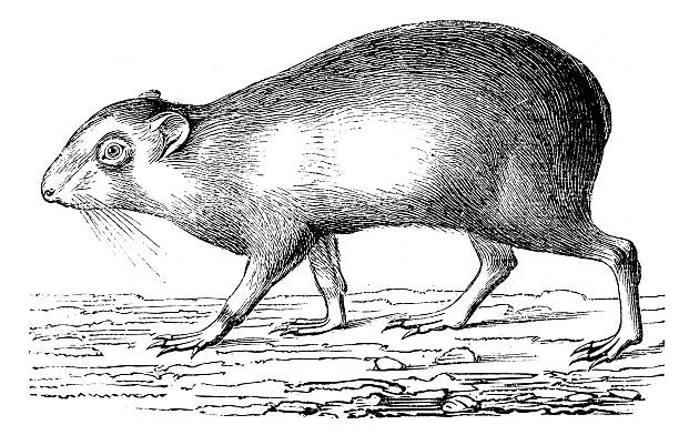 Agouti Clip Art, Vector Images & Illustrations.