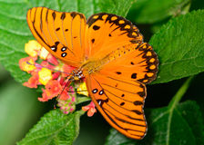 Gulf Fritillary Agraulis Vanillae Stock Photos, Images, & Pictures.