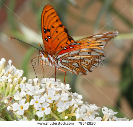 Gulf Fritillary Butterfly Stock Photos, Royalty.