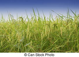 Stock Images of Paddy field, green agriculture land, India.