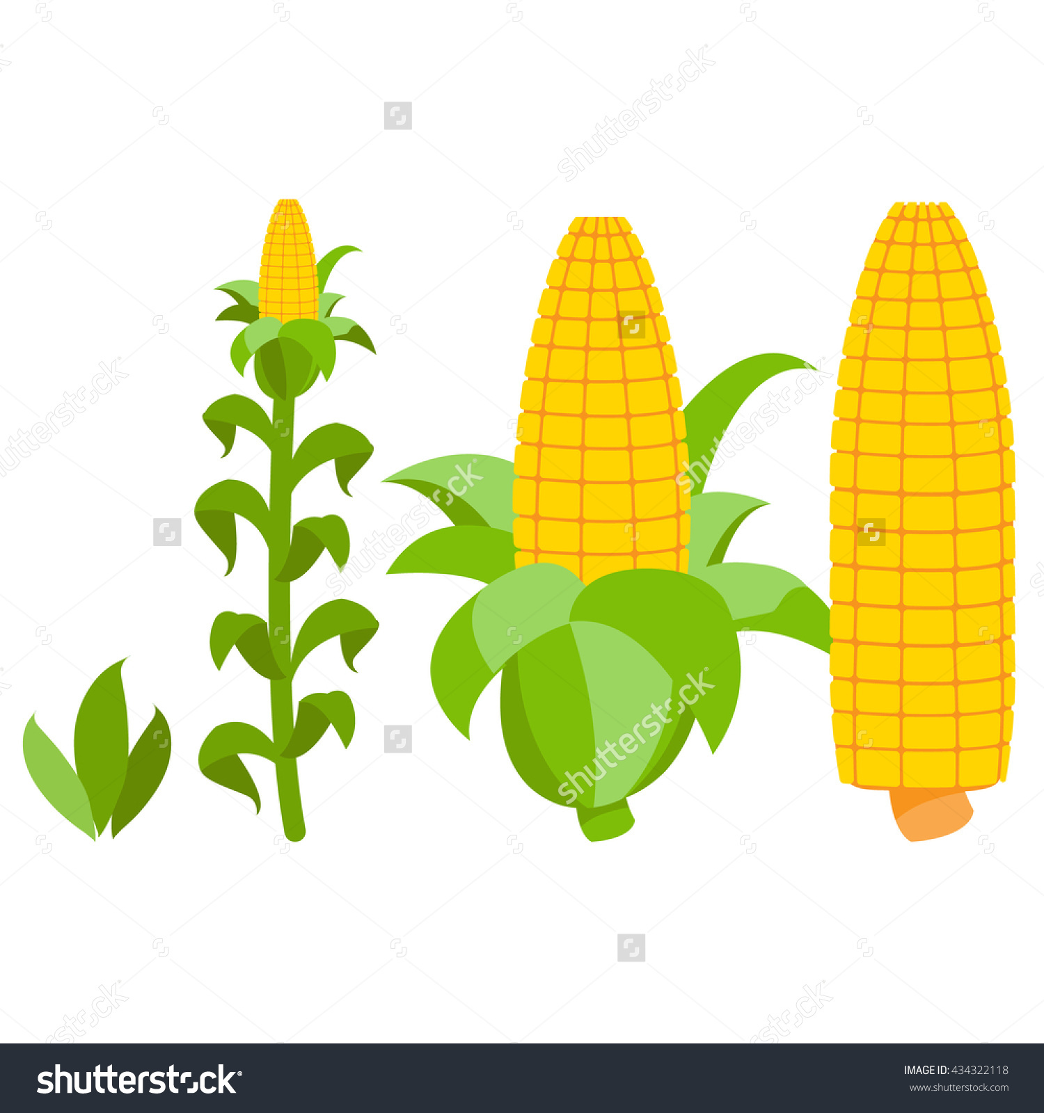 Corn Growth Stages Sprout Adult Plant Stock Vector 434322118.