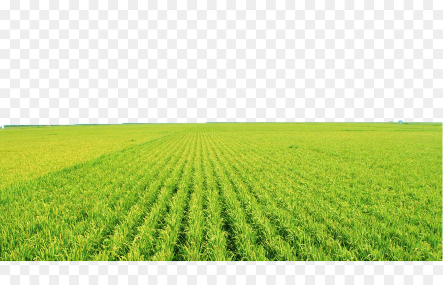 Agriculture clipart rice field, Agriculture rice field.