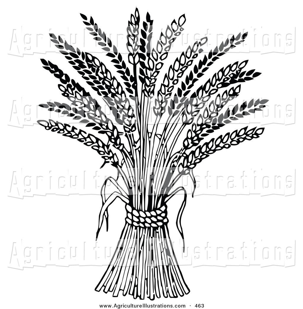 Agriculture Clipart of a Wheat Bound by Rope on White in.