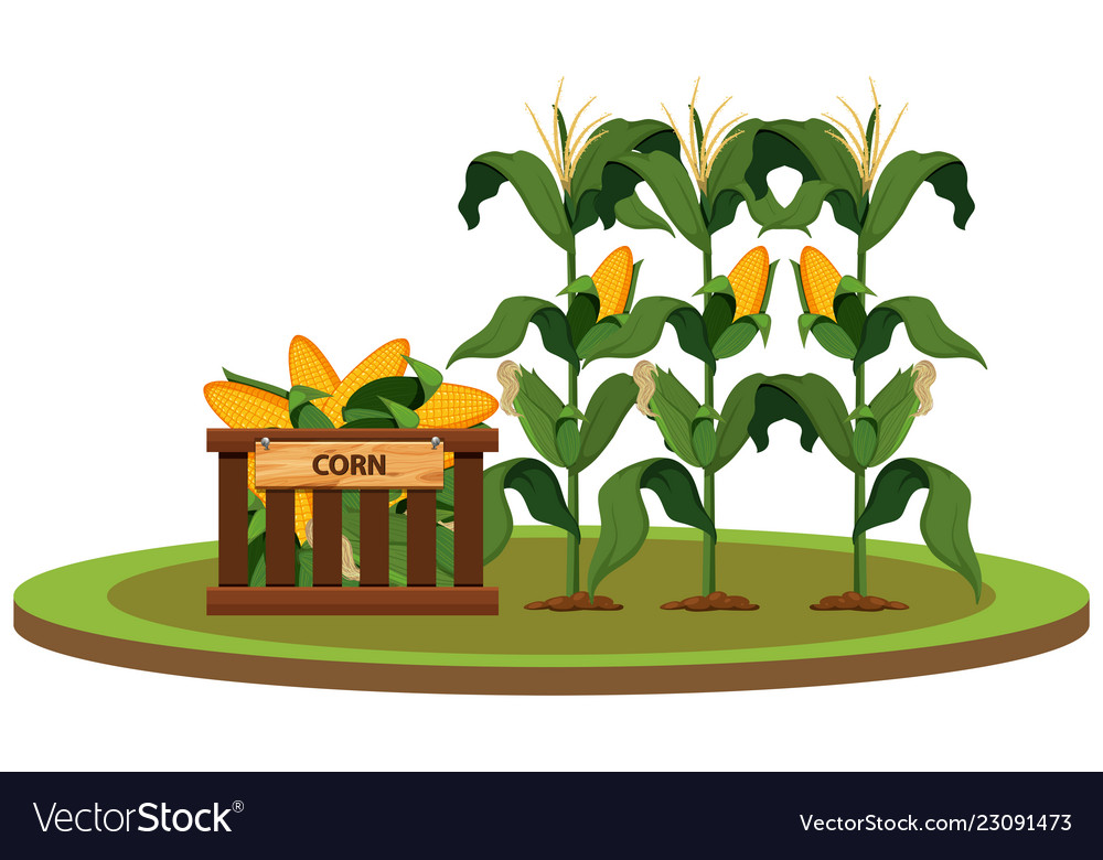 Isolated organic corn farm.