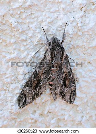 Stock Photo of Convolvulus Hawk.