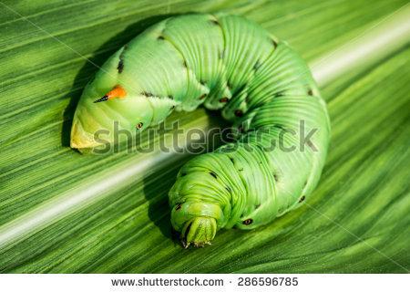 """sphinx Caterpillar"" Stock Photos, Royalty."