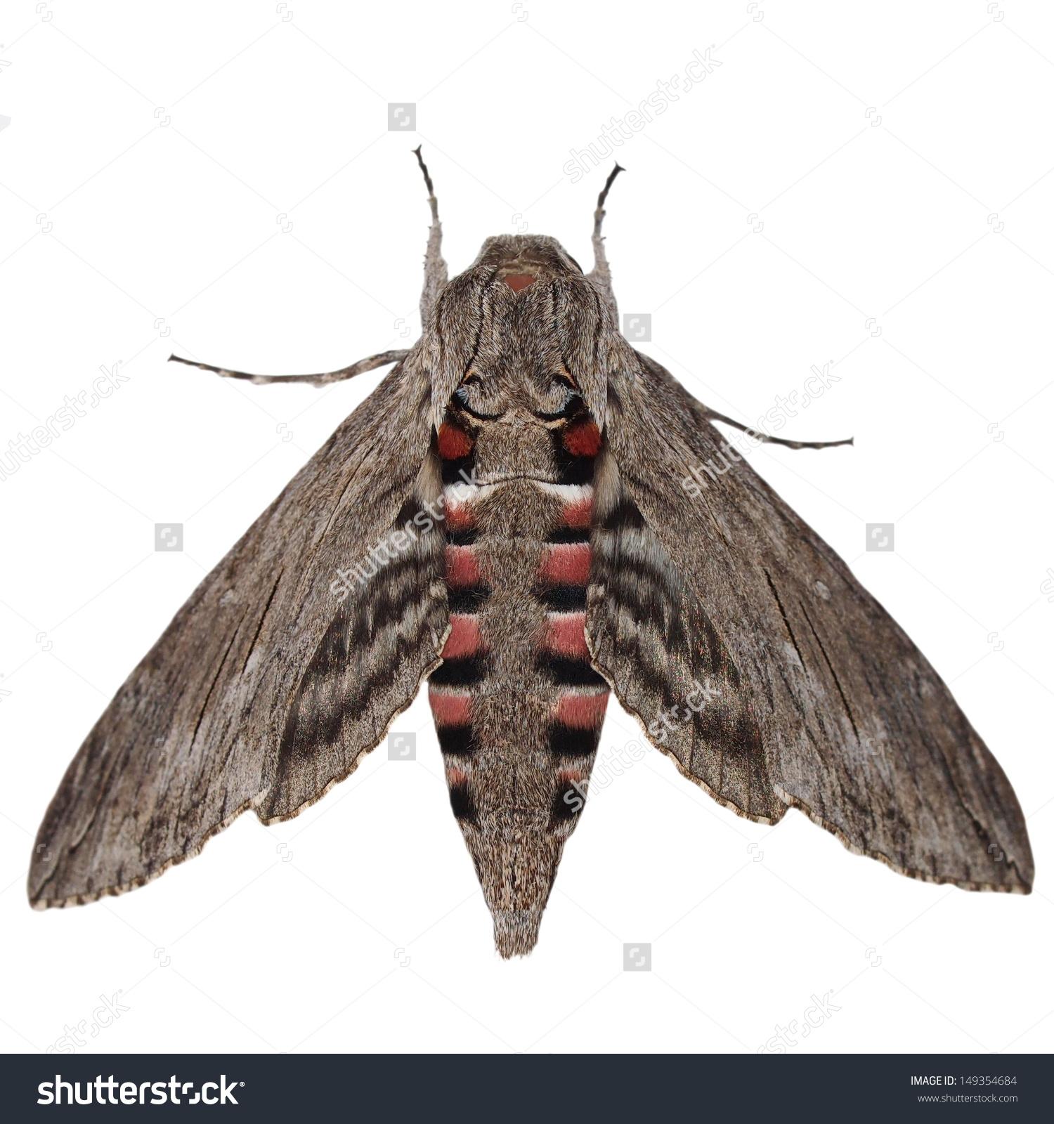Convolvulus Hawkmoth Agrius Convolvuli Gray Moth Stock Photo.