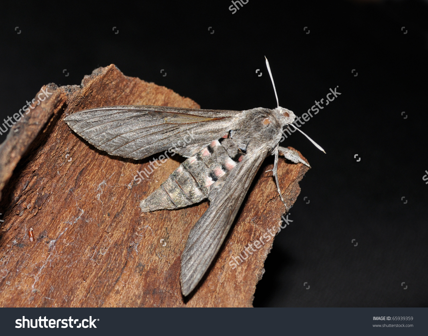 Big Hawkmoth Sphinx Convolvuli Agrius Convolvuli Stock Photo.