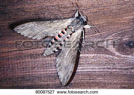 Picture of DEU, 2004: Convolvulus Hawkmoth, Mornig Glory Sphinx.