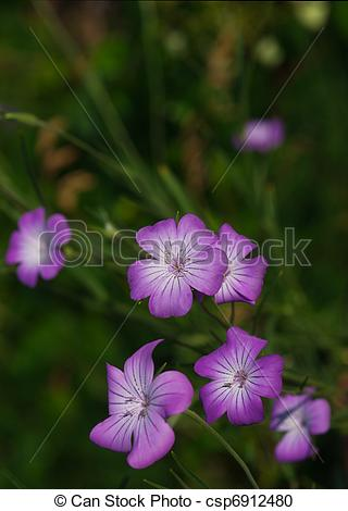 Stock Photography of Corncockle flower.