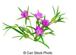 Stock Image of Agrostemma githago.