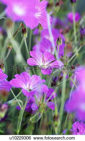 Stock Images of agrostemma githago, pink, summer, corncockle.