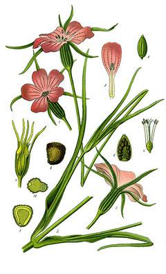 Agrostemma githago Corncockle, Common corncockle PFAF Plant Database.