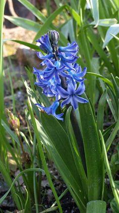 Delphinium 'Blue Nile'.