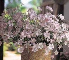 Agrostemma githago Botanical Print.
