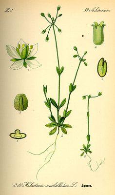 Achatocarpus oaxacanus.