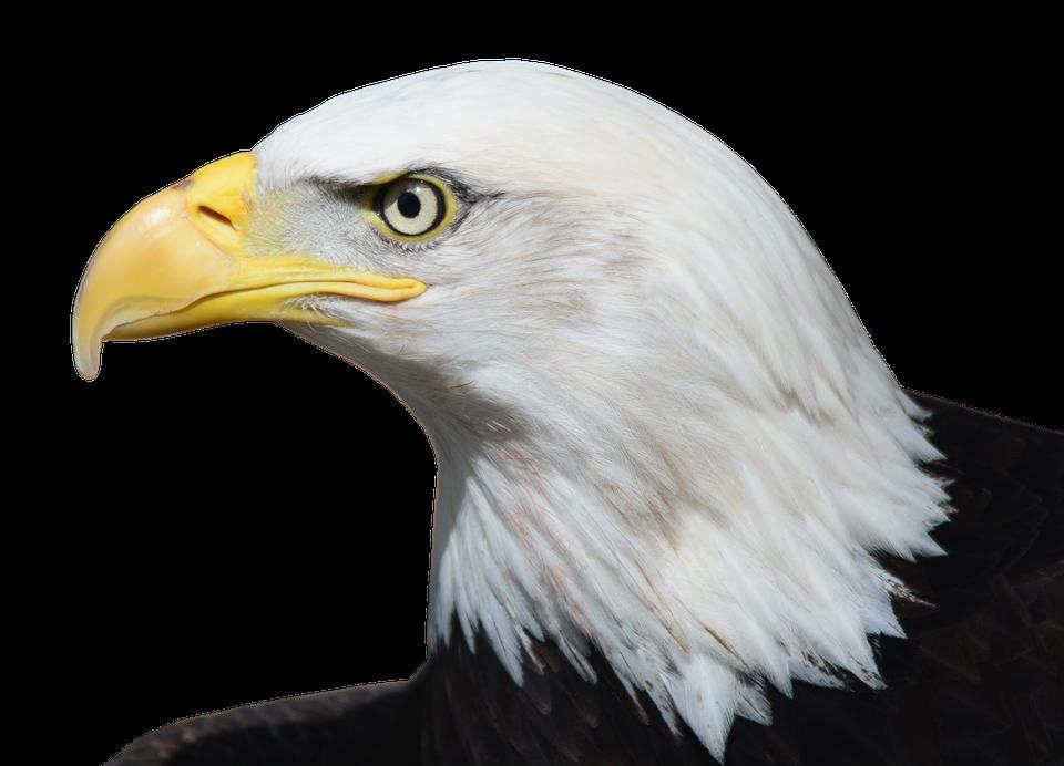 Cabeça de aguia png 4 » PNG Image.