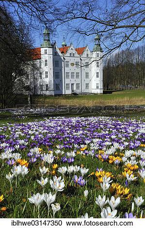 """Stock Photography of """"Crocuses (Crocus sp.) in front of Schloss."""