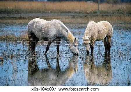 Picture of Camargue Horses, Natural park of Aiguamolls de l?Empord.