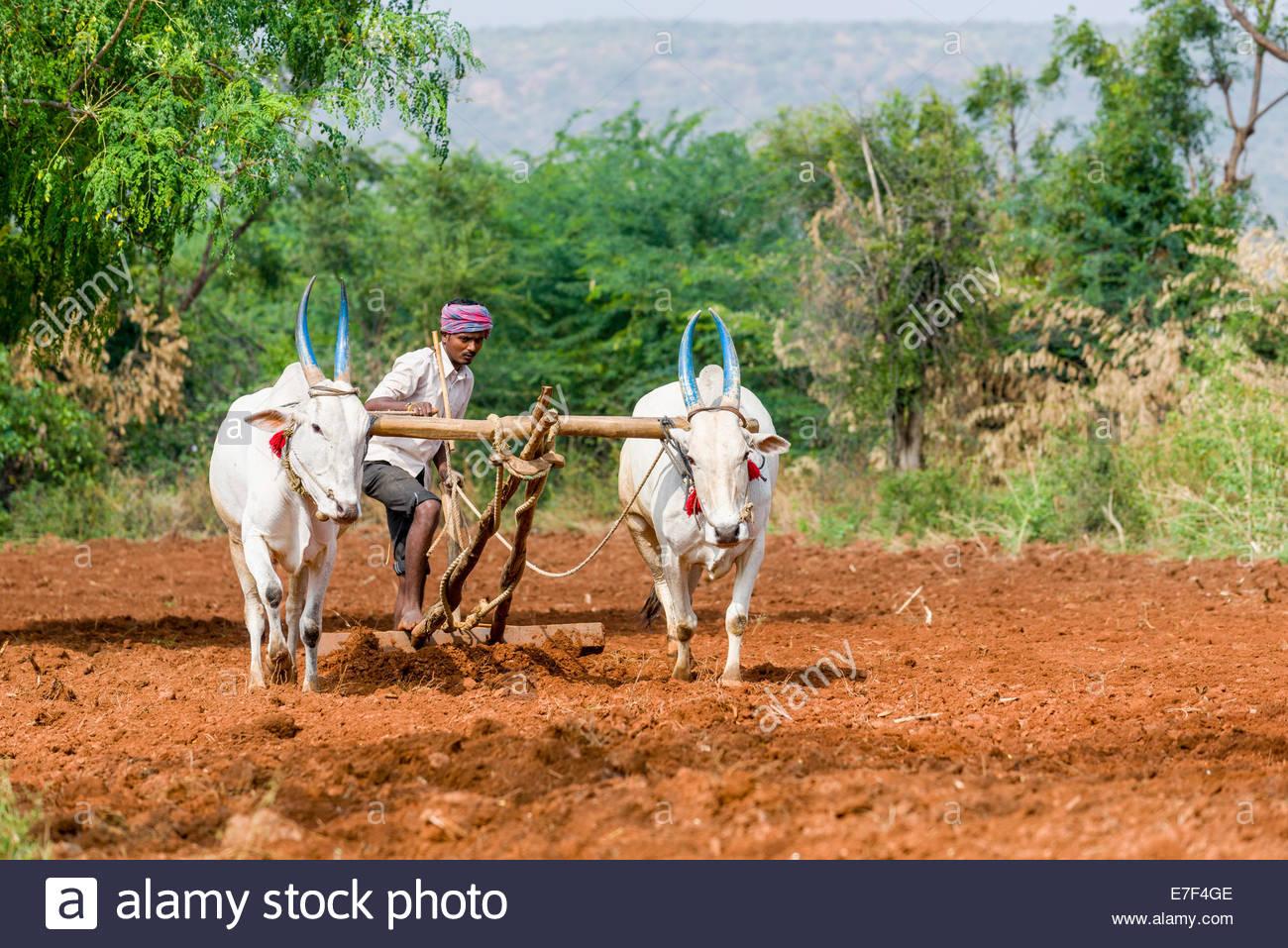 White Oxen Stock Photos & White Oxen Stock Images.