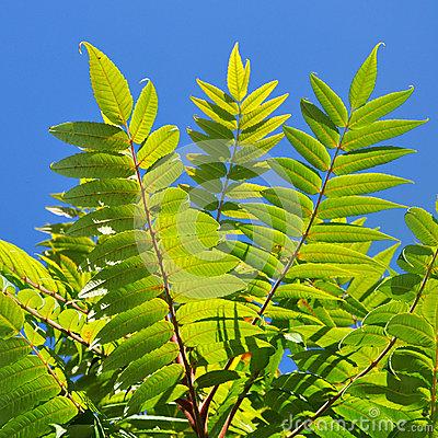 Tree Of Heaven Leaf Stock Photo.