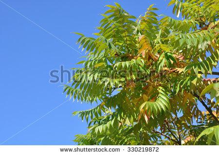 Ailanto Branches, Tree Of Heaven. Ailanthus Altissima. Stock Photo.