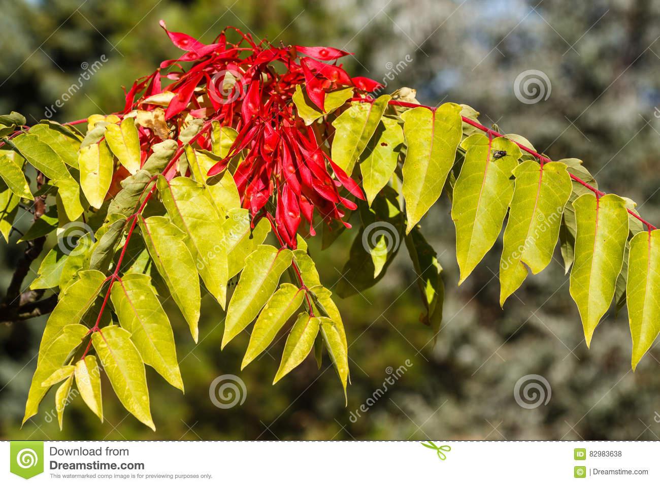 Ailanthus Altissima. Ailanto Pods, Tree Of Heaven. Stock Photo.