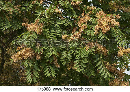 Pictures of Tree of Heaven (Ailanthus altissima), twigs with fruit.