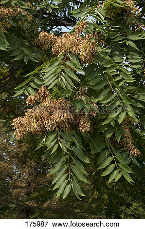 Picture of Tree of Heaven (Ailanthus altissima), twigs with fruit.