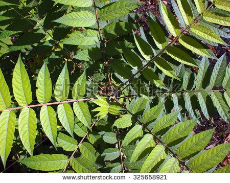 Ailanthus Altissima Foto, immagini royalty.