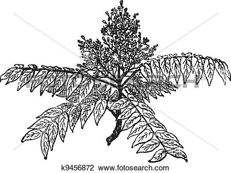 Clipart of Tree of Heaven or Ailanthus altissima, vintage.