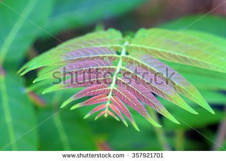 Ailanthus Altissima Stock Photos, Royalty.