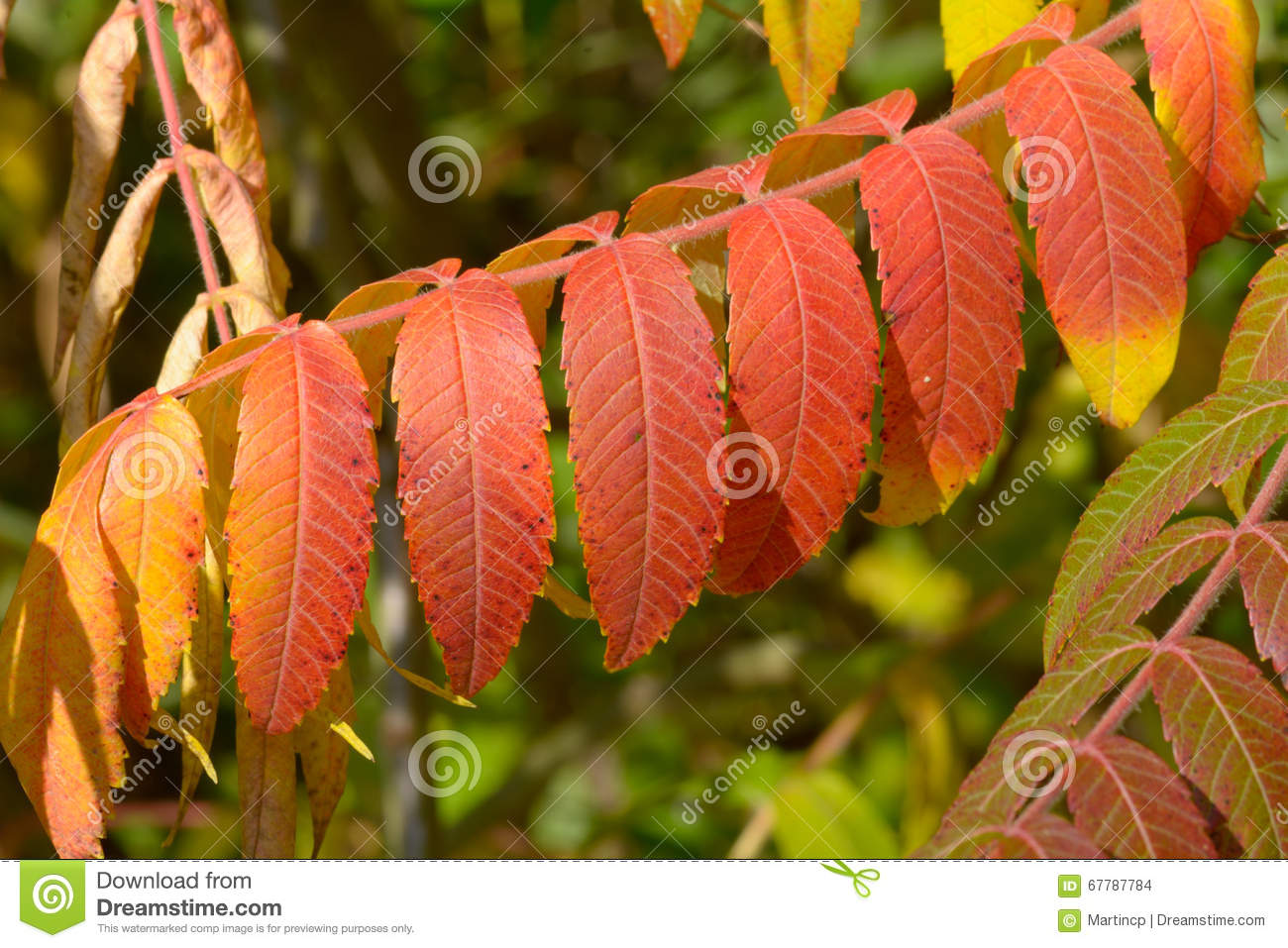Bold Vibrant Red Tree Of Heaven (Ailanthus Altissima) Leaves Stock.