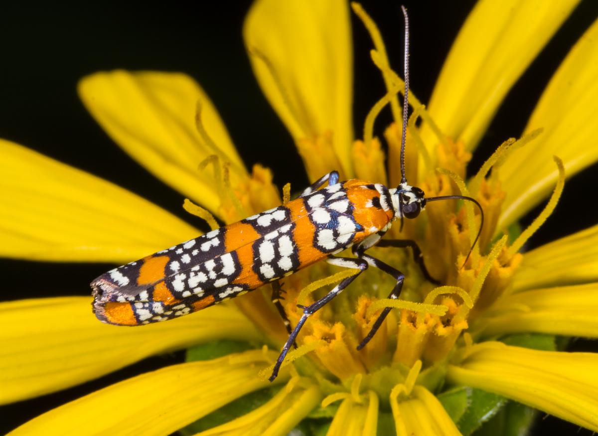 ailanthus webworm moth.