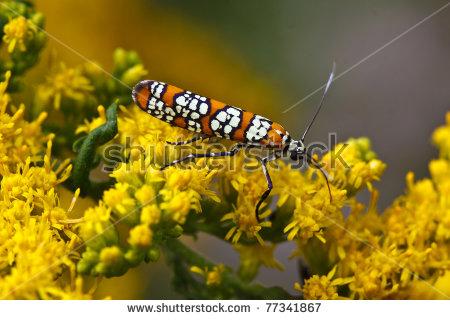 "ermine Moth"" Stock Photos, Royalty."