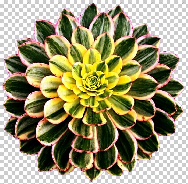 Aeonium haworthii Succulent plant Cactaceae Houseplant.