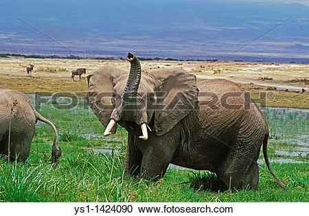 Stock Photography of AFRICAN ELEPHANT loxodonta africana, ADULT IN.