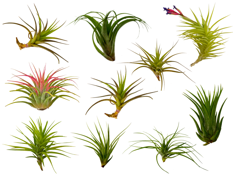 The Fern and Mossery: Buy Air Plants (tillandsia) Online.
