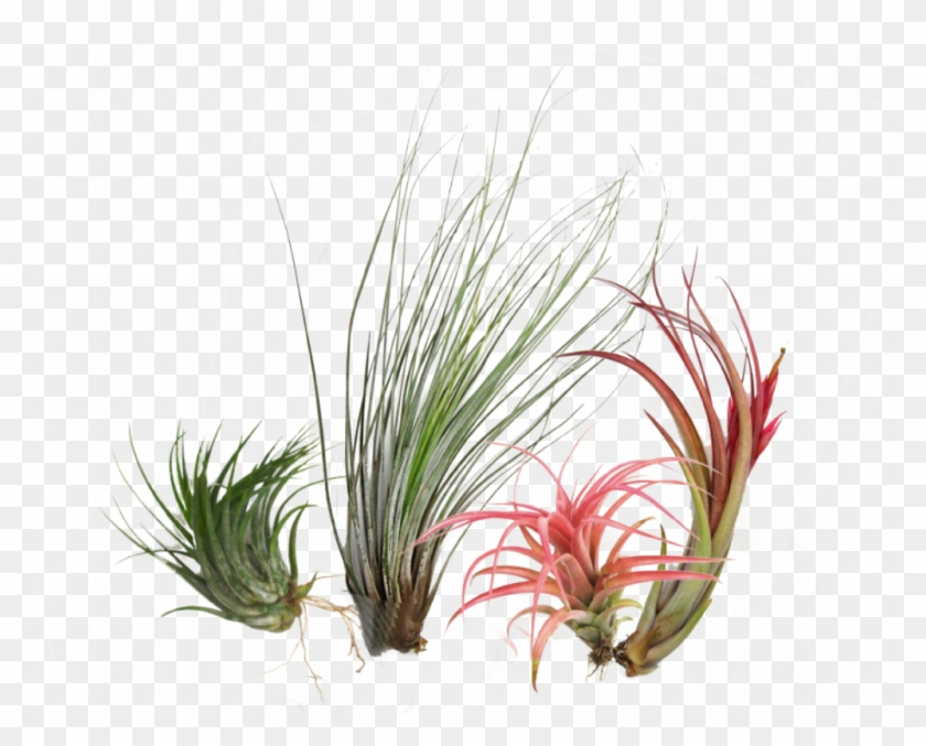 Air Plants Are A Unique Group Of Plants That Can Grow.
