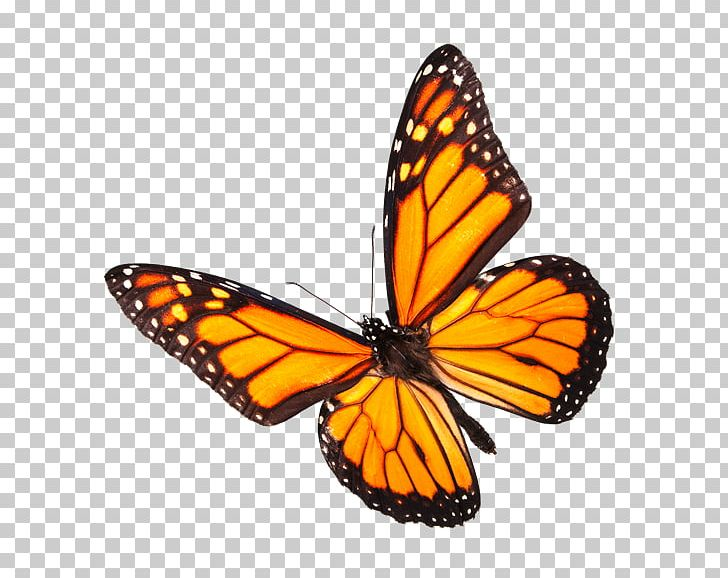 Monarch Butterfly Insect Stock Photography Pollinator PNG.