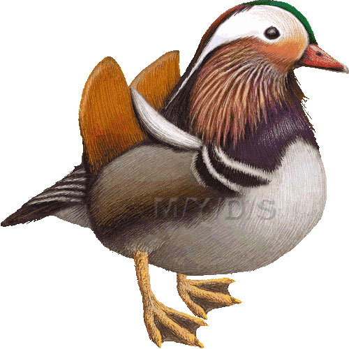 Mandarin Duck (Aix galericulata) clipart graphics (Free clip art.