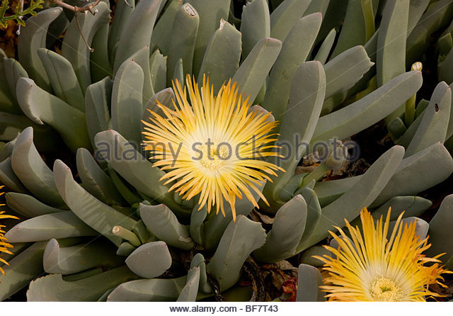 Aizoaceae Stock Photos & Aizoaceae Stock Images.