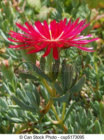 Stock Images of Ice Plant Flower.