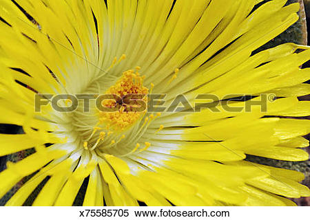 Stock Image of Closeup of yellow flower of ice plant, Aizoaceae.